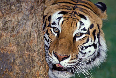 Bengal Tiger Looking From Behind Tree Poster by Robert Jensen