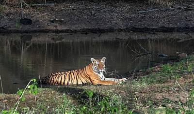 Bengal Tigress Resting In A Pool Poster by K Jayaram