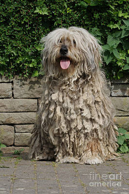 Bergamasco Shepherd Dog Poster
