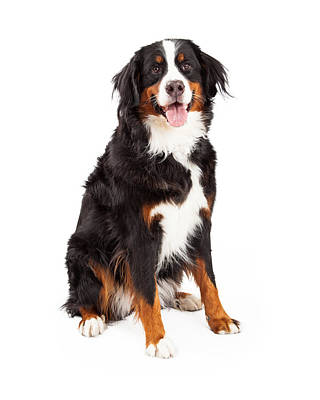 Bernese Mountain Dog Sitting Poster by Susan Schmitz