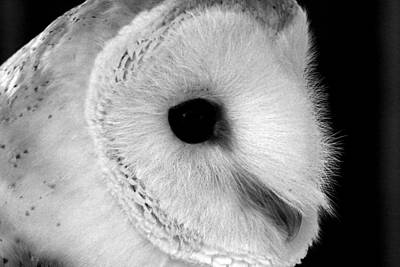 Bernie The Barn Owl Poster by Chris Whittle