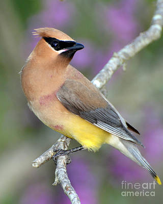 Berry Stained Waxwing Poster