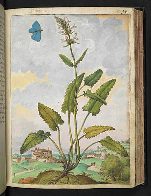 Betony (stachys Sp.) Poster by British Library