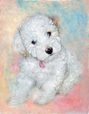 Bichon Maltipoo Puppy Dog Poster by Robert Jensen