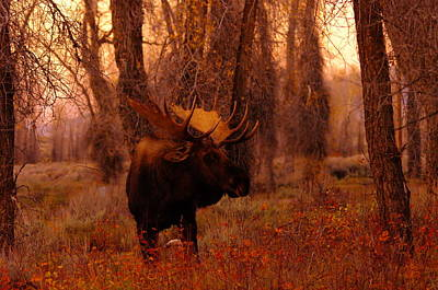 Big Bull Moose In The Woods Poster by Jeff Swan