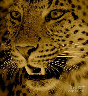 Big Cat In Sepia Poster by Louise Fahy