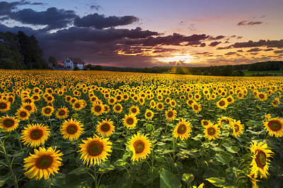 Big Field Of Sunflowers Poster