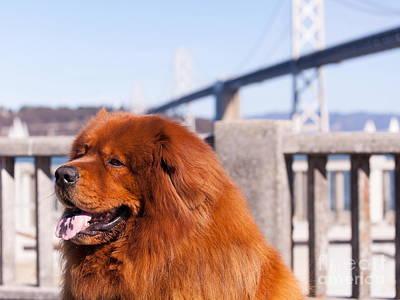 Big Fluffy Dog At The San Francisco Bay Bridge 5d29709 Poster