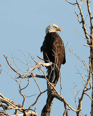 Big Horn Bald Eagle Poster
