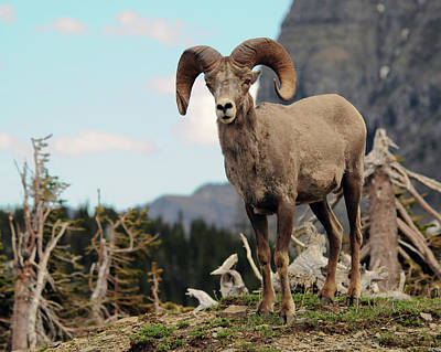 Big Horn Sheep, Glacier National Park Poster by Michel Hersen