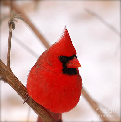 Big Red  Cardinal Bird In Snow Poster