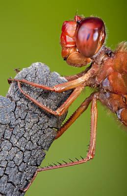 Big Red Skimmer Dragonfly Poster by Robert Jensen
