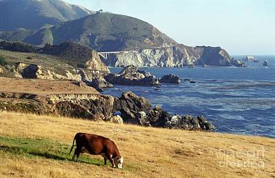 Big Sur Cow Poster