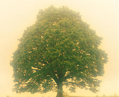 Big Tree In Early Morning Mist Poster