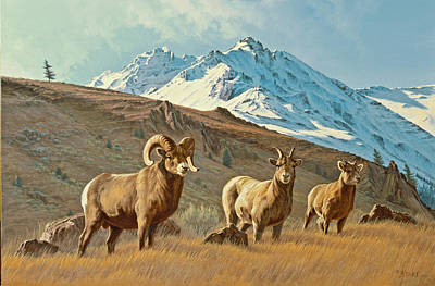 Bighorn Below Electric Peak Poster by Paul Krapf