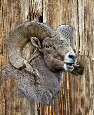 Bighorn Sheep Barnwood Poster