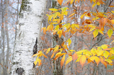 Birch And Beech Poster by Paul Miller