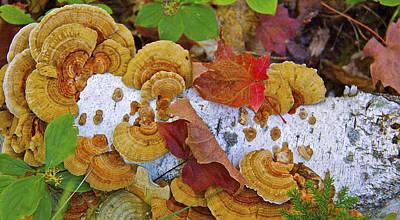 Birch And Fungi Poster