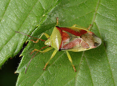 Birch Shield Bug Poster
