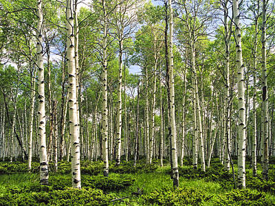 Birch Tree Grove In Summer Poster by Randall Nyhof