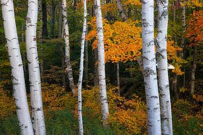 Birch Tree Pan Poster