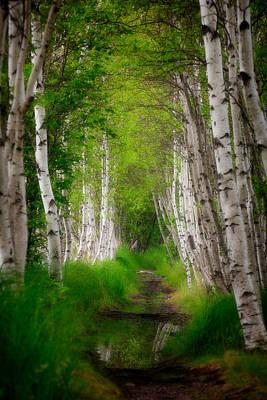 Birch Tree Row Poster by Emmanuel Panagiotakis