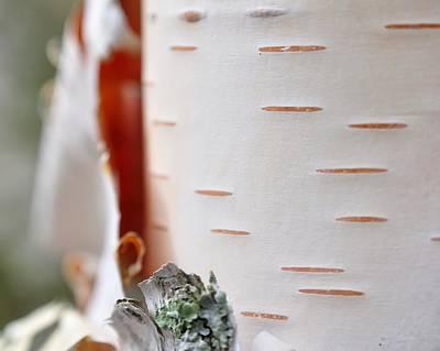 Birch Tree Poster by Todd Soderstrom