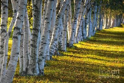 Birch Trees Autumn Sunlight Poster by Henry Kowalski