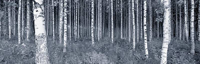 Birch Trees In A Forest, Finland Poster