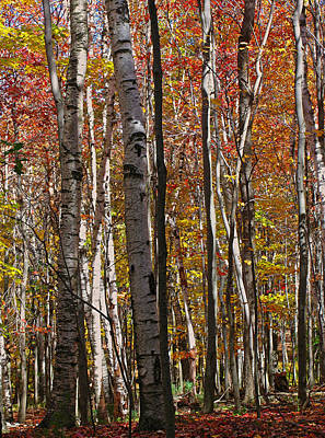 Birch Trees In Autumn Poster by Juergen Roth
