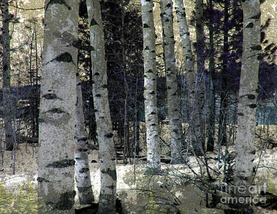 Birch Trees In Snow  Poster