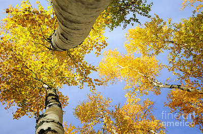 Birches In Autumn Colors Poster by Marleen  Bos