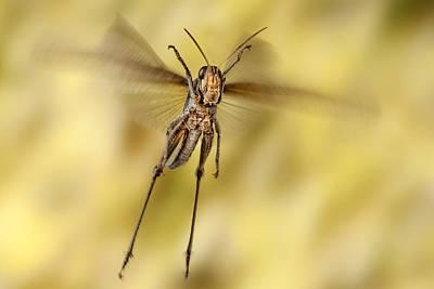 Bird Grasshopper In Flight Poster by Robert Jensen