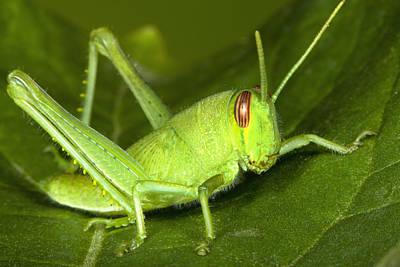 Bird Grasshopper Nymph Poster by Robert Jensen