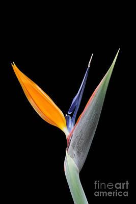 Bird Of Paradise #2 Poster