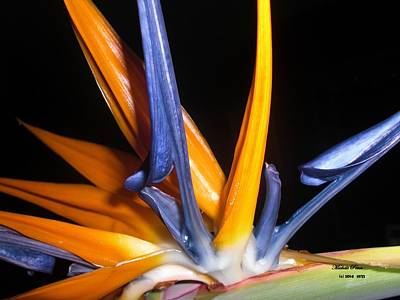 Bird Of Paradise Beauty  Poster