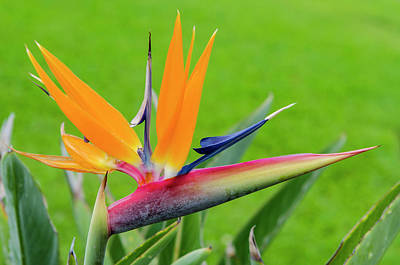 Bird Of Paradise Flower (strelitzia Poster
