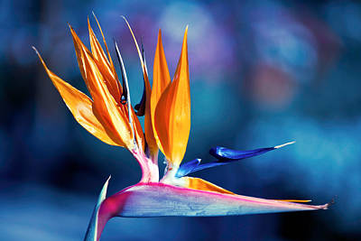 Bird Of Paradise Poster by Gunter Nezhoda