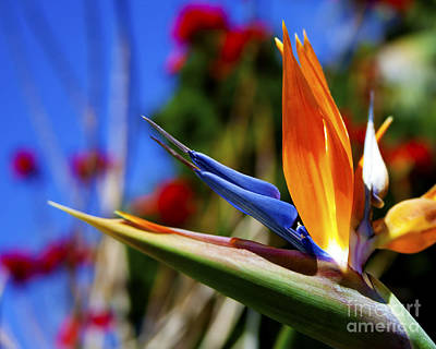 Poster featuring the photograph Bird Of Paradise Open For All To See by Jerry Cowart