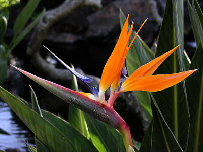 Poster featuring the photograph Bird Of Paradise by Robert Lozen