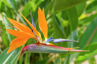 Bird Of Paradise (strelitzia Reginae Poster