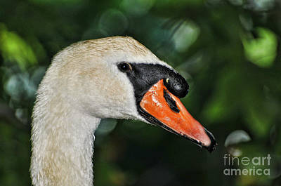 Bird - Swan - Mute Swan Close Up Poster by Paul Ward