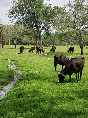 Birds And Cows In Pasture Poster