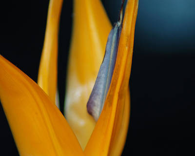 Poster featuring the photograph Birds Of Paradise by Matt Harang