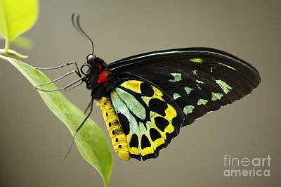 Birdwing Butterfly Poster