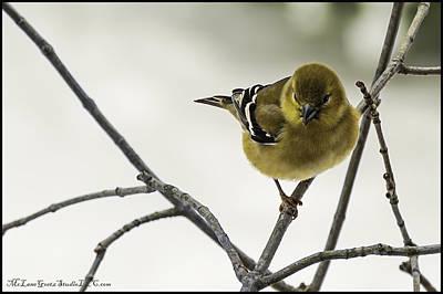 Birdy Birdy Goldfinch Poster