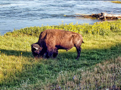 Poster featuring the photograph Bison 4 by Dawn Eshelman