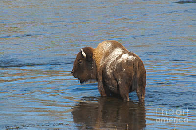 Bison Crossing River Poster