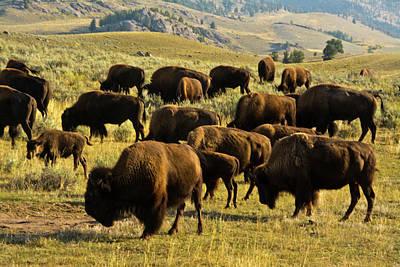 Bison Feeding, Lamar Valley Poster by Michel Hersen