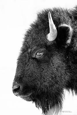 Bison Formal Portrait Poster by Dustin Abbott